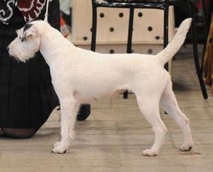 Parson Russell Terrier Growth PARTY S KRASNOY GORKI,...